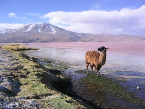 Llama_en_la_laguna_Colorada_Potosí_Bolivia